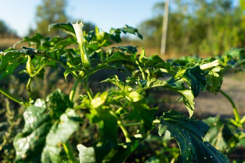 Plantas do estramônio Mostrando as folhas verdes e a flor de florescência branca que sejam plantas decorativas venenosas imagens de stock