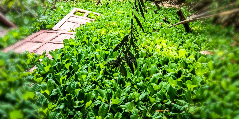 Plantas do jacinto de ?gua na ?gua que est?o em uma lagoa fotos de stock royalty free