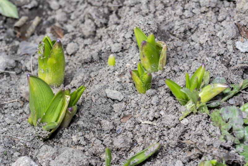 Plantas do jacinto que brotaram fora da terra fotografia de stock royalty free