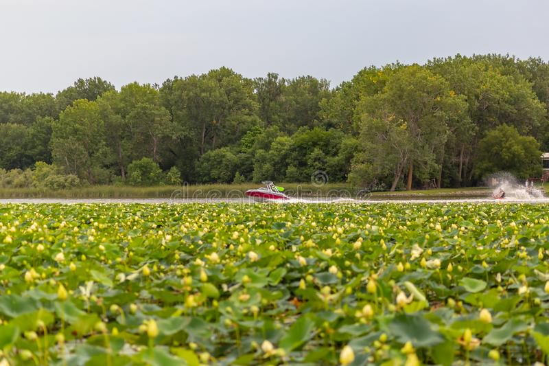 Plantas do lírio de água no barco de Carter Lake Iowa Motor com esquiador da água fotografia de stock