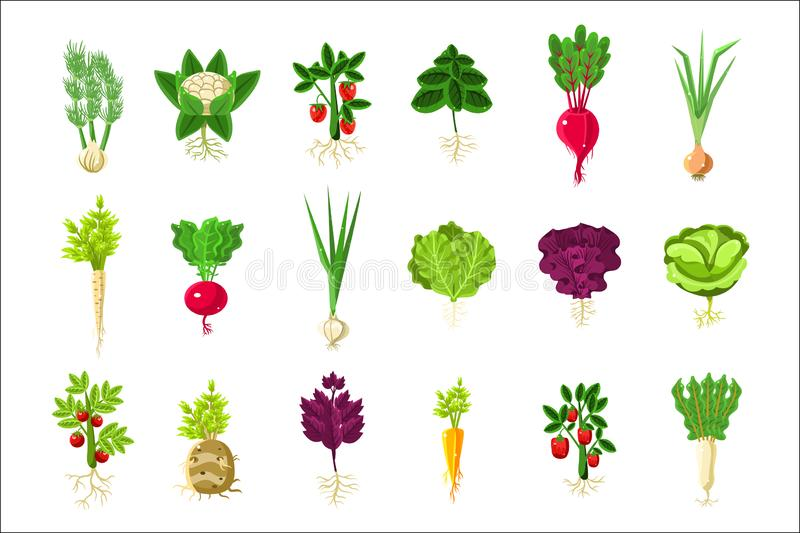 Plantas do legume fresco com as raizes ajustadas ilustração royalty free