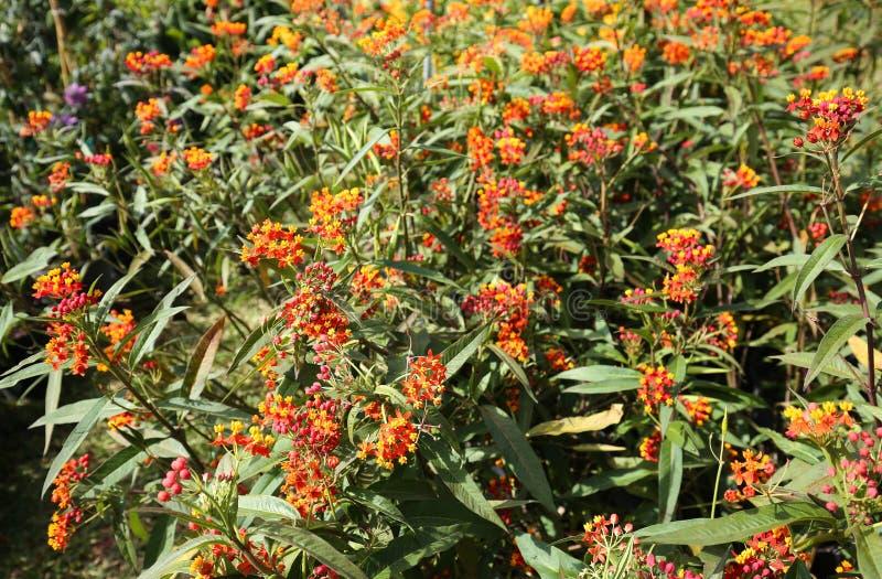 Plantas do Milkweed imagens de stock