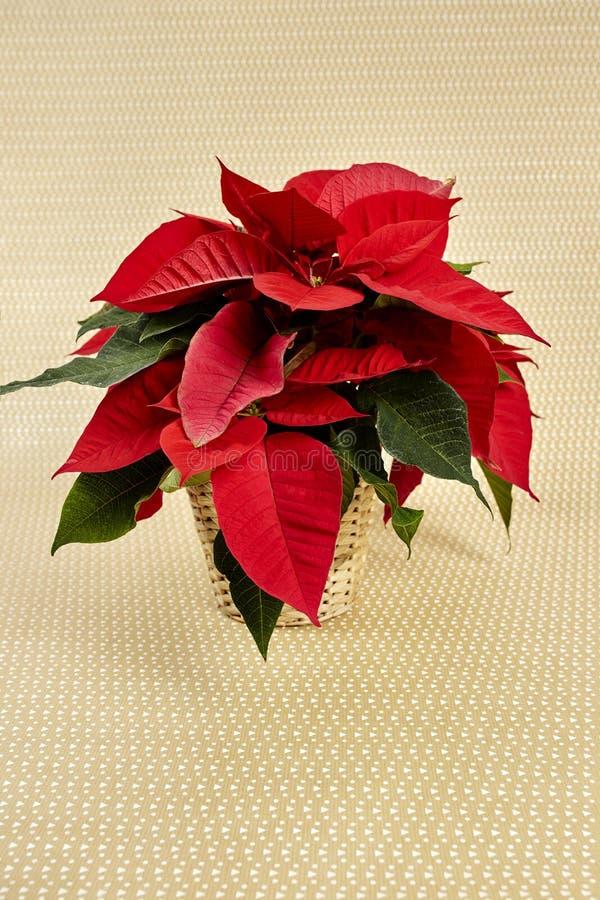 Plantas do Natal foto de stock