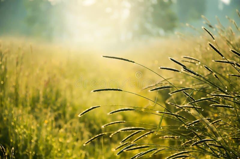 Plantas do prado da manhã com nascer do sol foto de stock royalty free