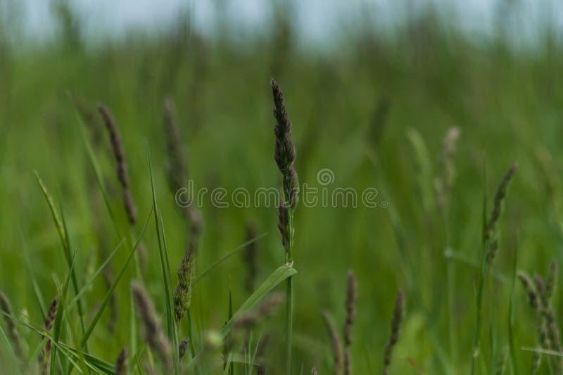 Plantas do prado Grama, verde, suculenta fotografia de stock