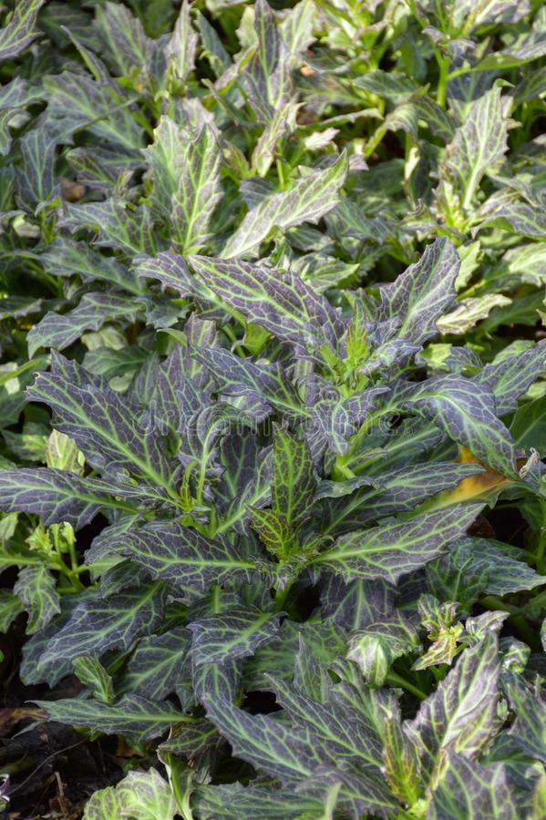 Plantas do pseudochina do Gynura fotografia de stock