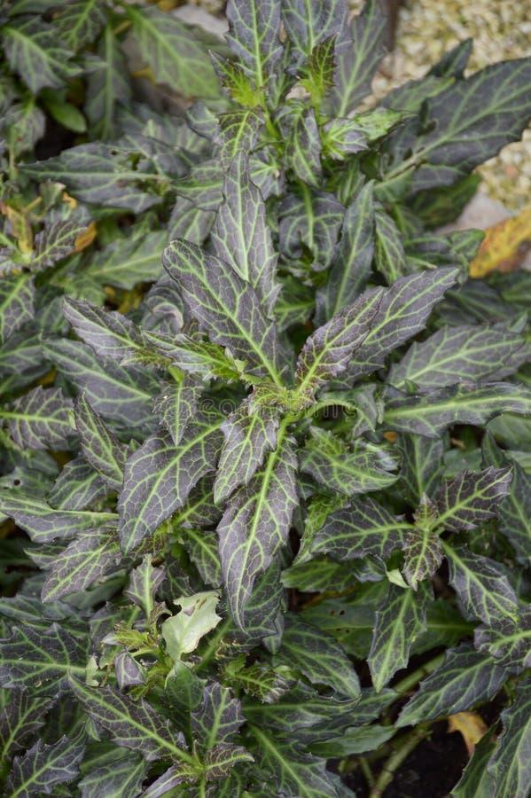 Plantas do pseudochina do Gynura foto de stock