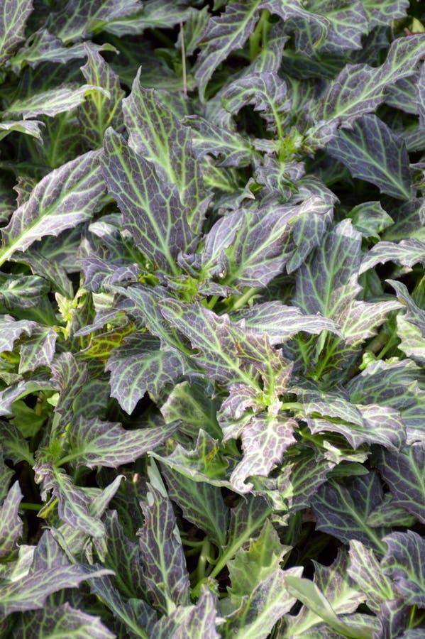 Plantas do pseudochina do Gynura fotografia de stock royalty free