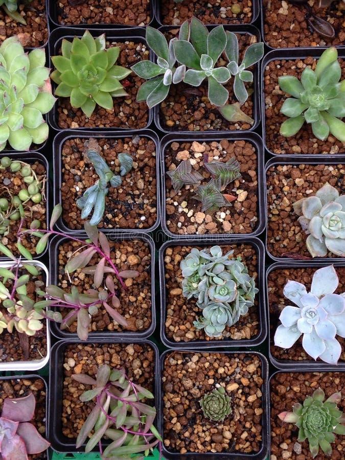Plantas do Succulent fotografia de stock royalty free
