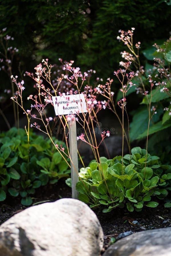 Plantas do umbrosa do Saxifraga com as flores no jardim fotografia de stock royalty free