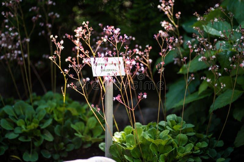 Plantas do umbrosa do Saxifraga com as flores no jardim fotos de stock