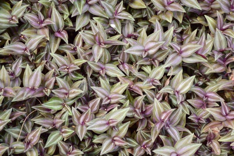 Plantas do zebrina do Tradescantia imagens de stock
