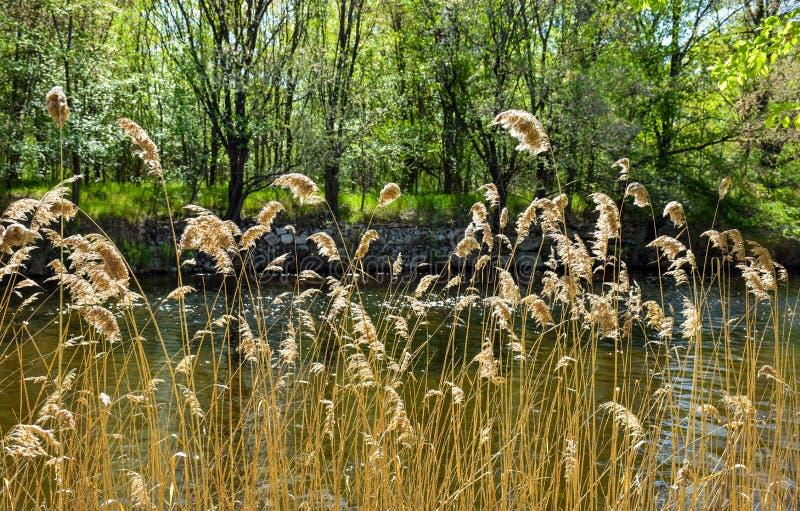 plantas douradas secas chamadas no cortaderia do latino no primeiro local e no rio brilhante atrás das plantas No fundo há fotos de stock