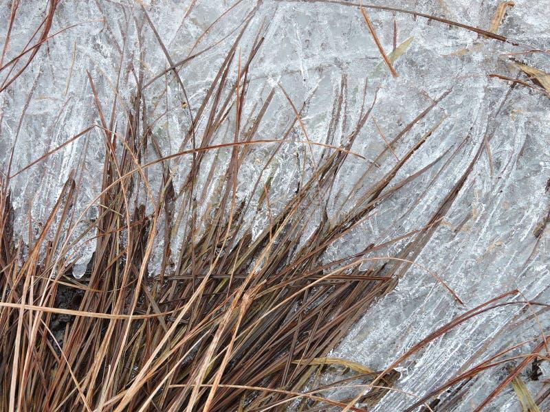 Plantas e hielo de Brown cerca del río, Lituania imagen de archivo libre de regalías