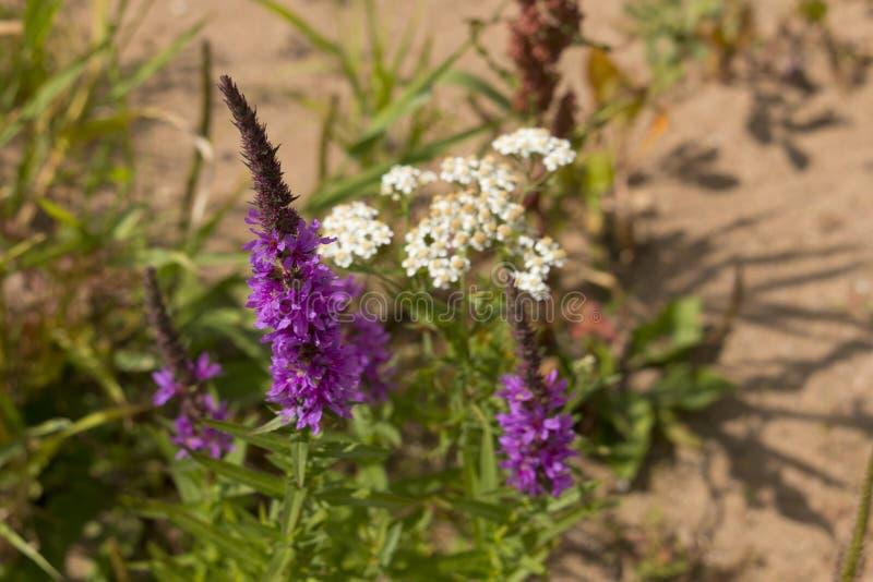 Plantas e plantas medicinais em meio selvagem foto de stock royalty free