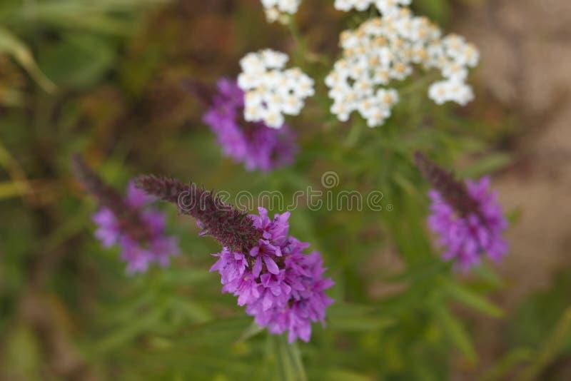 Plantas e plantas medicinais em meio selvagem imagens de stock