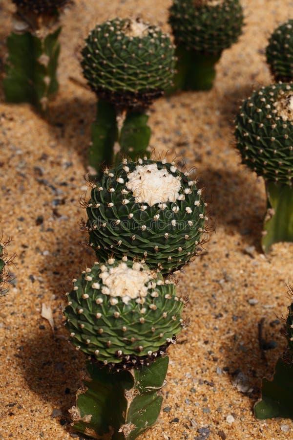 Plantas en el desierto imagen de archivo libre de regalías