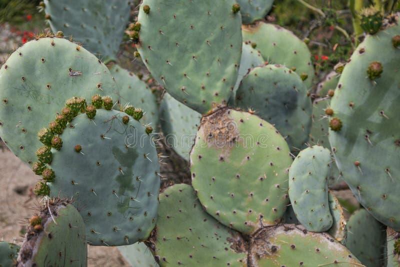 Plantas exóticas Close-up de um cacto espinhoso imagens de stock