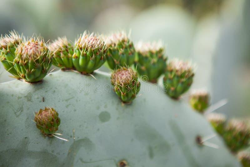 Plantas exóticas Close-up de um cacto espinhoso imagem de stock