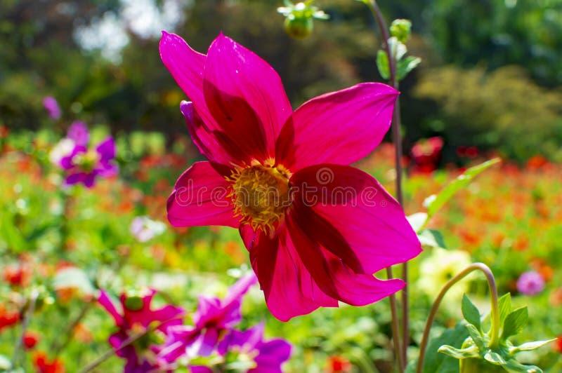 Plantas exóticas del gerbera del woth rosado de la flor foto de archivo libre de regalías