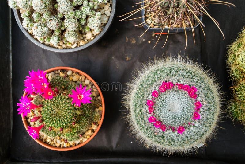 Plantas florecientes coloridas hermosas de la flor del cactus, endecha plana fotografía de archivo