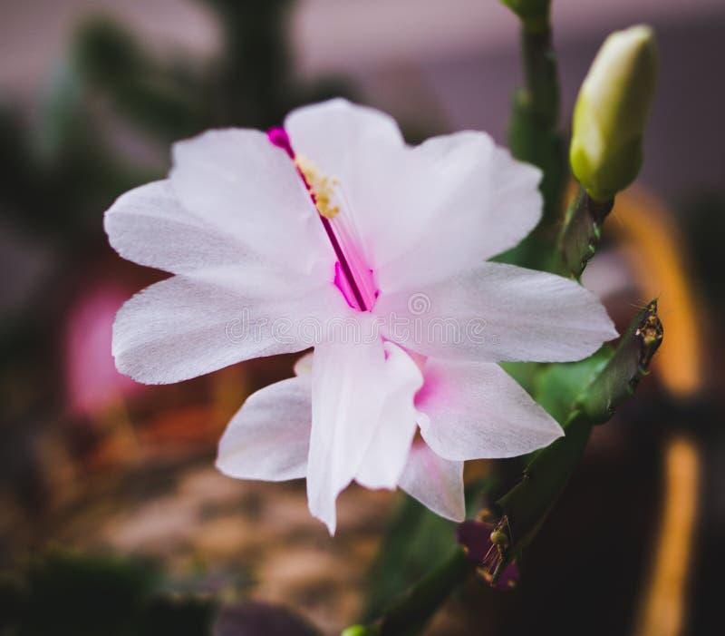 Plantas florecientes de la casa, plantas interiores fotos de archivo