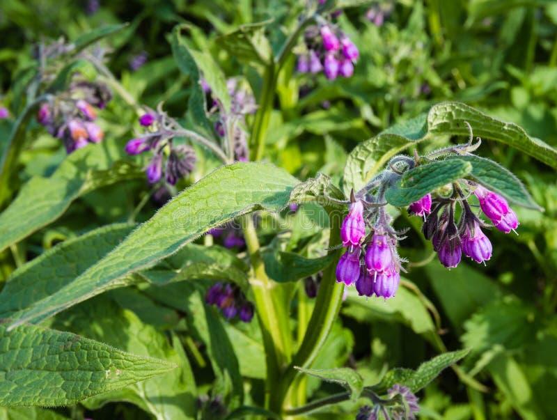 Plantas florecientes de la violeta y de la consuelda común de la púrpura del cierre fotografía de archivo