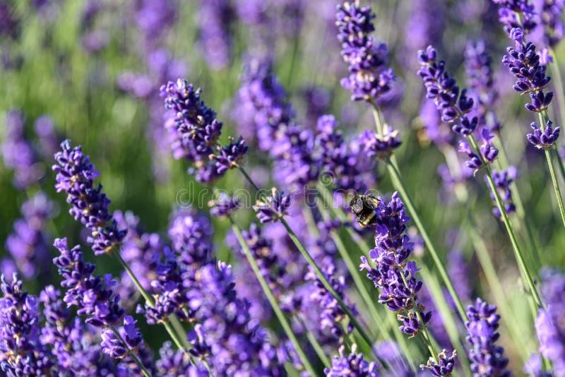 Plantas florecientes de polinización de la lavanda de la abeja como fondo de la naturaleza fotos de archivo libres de regalías