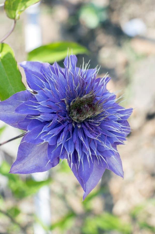 Plantas florecientes ornamentales azules multi del cultivar de la clemátide, flores dobles púrpuras azules violetas en la floraci foto de archivo libre de regalías