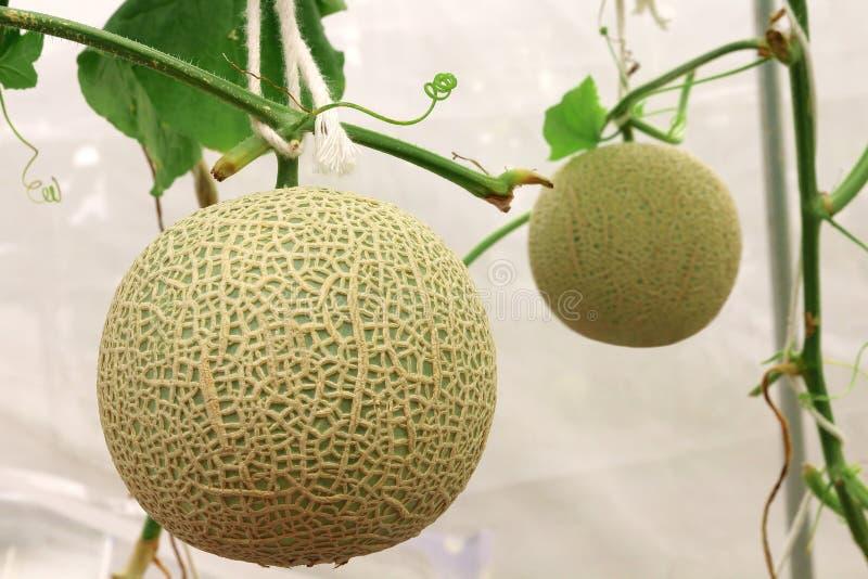 Plantas frescas de los melones del cantalupo que crecen en la granja del invernadero fotos de archivo libres de regalías