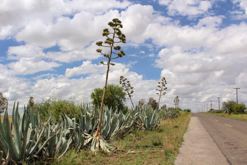 Plantas grandes da agave com as flores altas sob o céu nebuloso - paisagem típica de Vrystaat, uma província de África do Sul fotos de stock