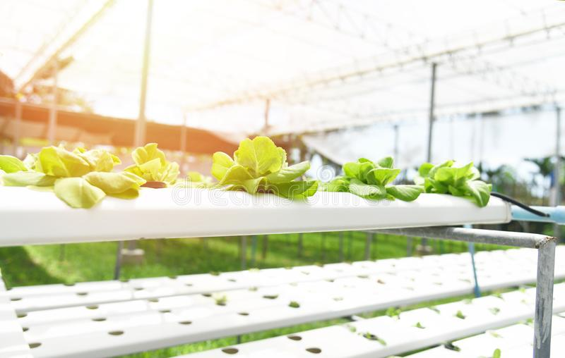 Plantas hidropônicas crescentes verdes da exploração agrícola do jardim da salada fresca da alface na água sem agricultura do sol fotos de stock royalty free