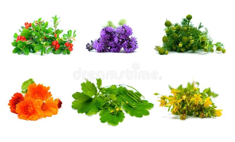 Plantas, hierbas y flores de la medicina en el fondo blanco fotografía de archivo libre de regalías
