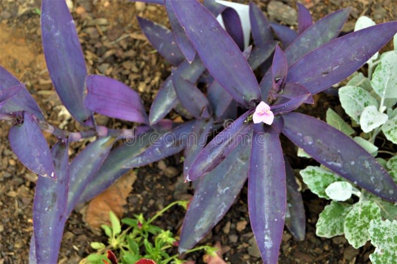 Plantas hojeadas púrpuras con las pequeñas flores rosadas fotografía de archivo