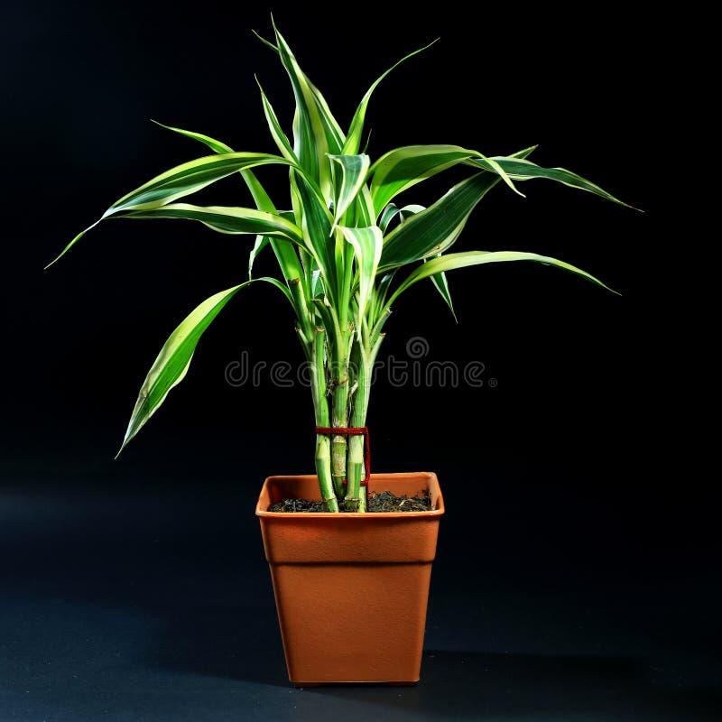 Plantas interiores en pote en fondo negro foto de archivo - Fotos de plantas de interior ...