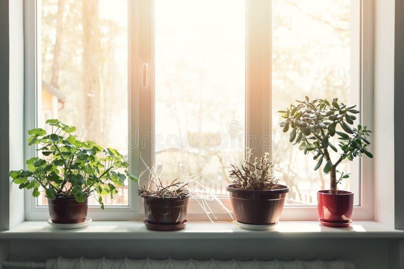 Plantas interiores en potes en travesaño soleado de la ventana imagen de archivo