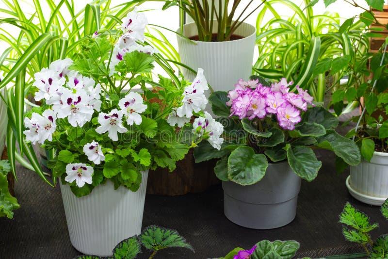 Plantas internas decorativas e florescendo nas plantas verdes da soleira e nas flores internas foto de stock royalty free