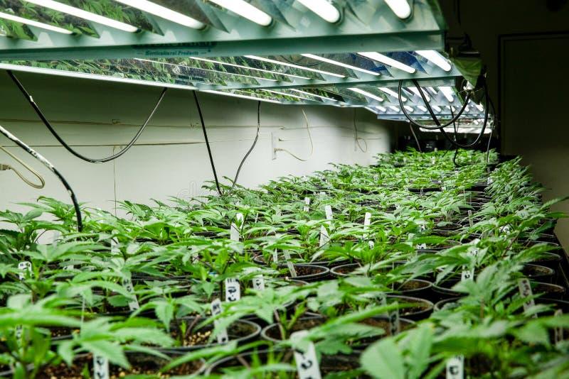 Plantas internas do bebê da marijuana sob luzes fotos de stock
