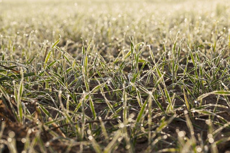 Plantas jovenes de la hierba, primer imagen de archivo libre de regalías