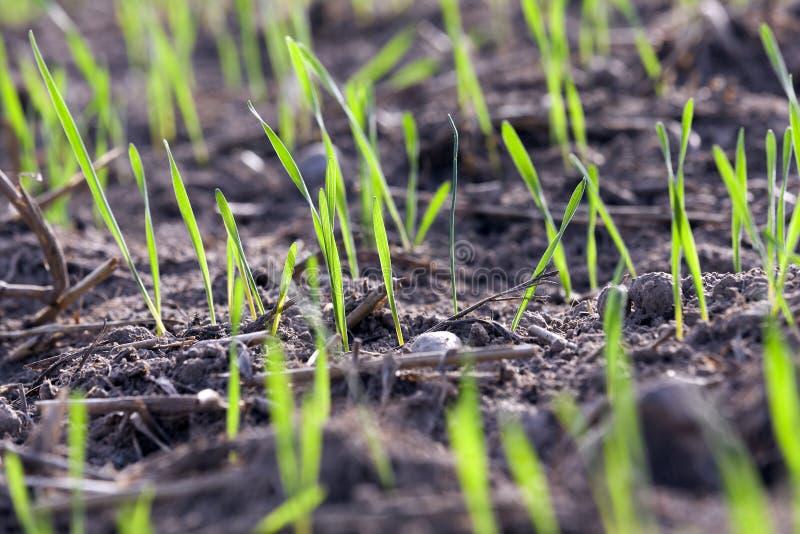 Plantas jovenes de la hierba, primer fotos de archivo libres de regalías