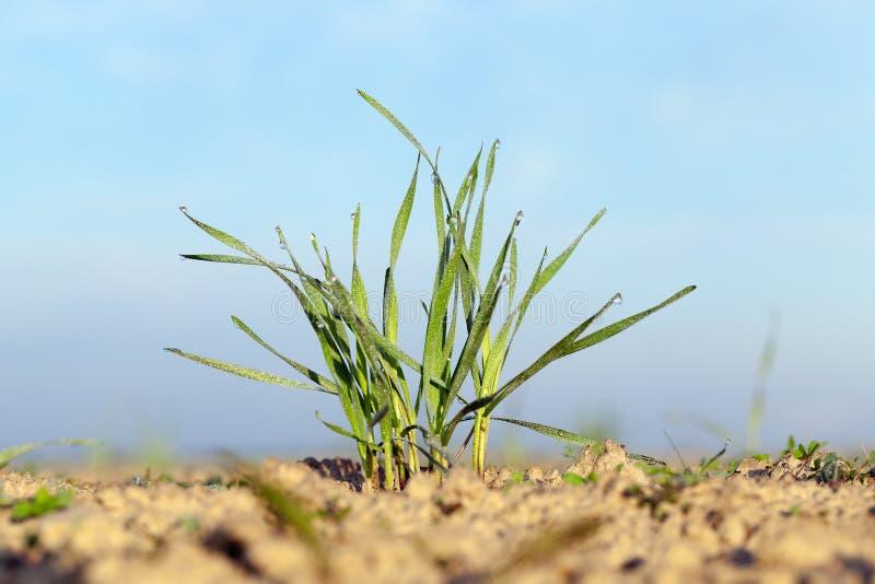 Plantas jovenes de la hierba, primer imagenes de archivo