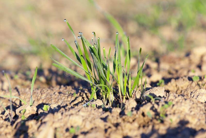 Plantas jovenes de la hierba, primer fotografía de archivo