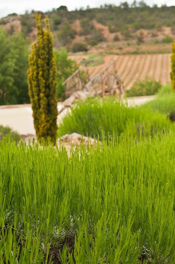 Plantas jovenes de la lavanda, en campos abiertos de un viñedo en España fotos de archivo libres de regalías