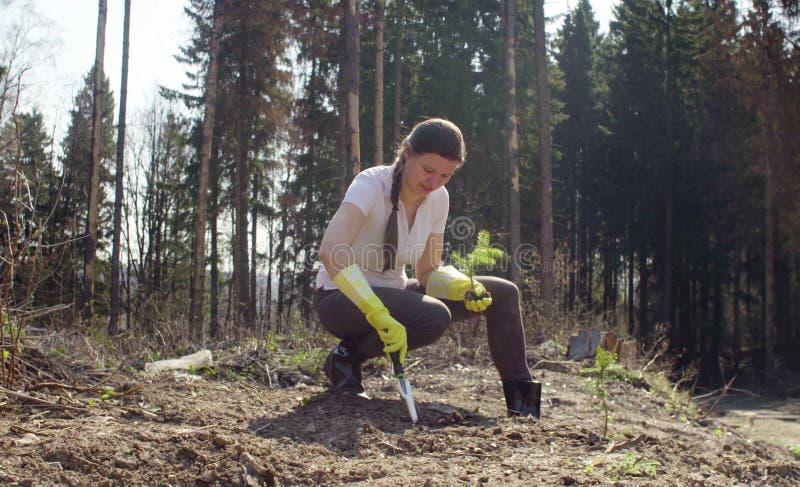 Plantas jovenes del activista un peque?o abeto fotografía de archivo