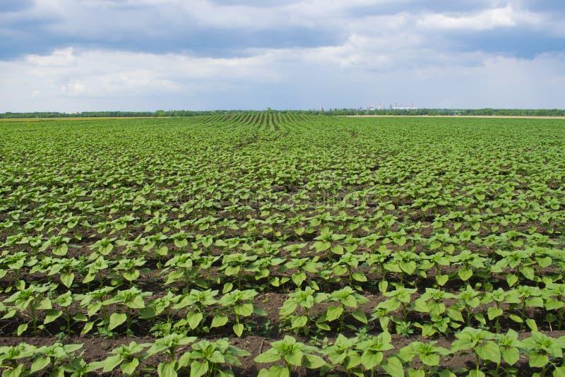 Plantas jovenes del girasol en el campo con el fondo de un cielo lluvioso con las nubes fotografía de archivo libre de regalías