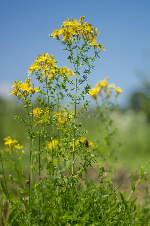 Plantas medicinales - perforatum del Hypericum fotografía de archivo