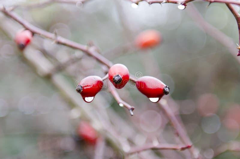 Plantas mojadas durante un d?a lluvioso, cubierto con las gotas de agua, rosa coloreadas fotos de archivo libres de regalías
