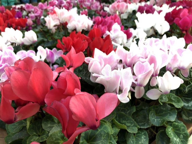 Plantas multicoloras en el ciclamen de la floristería imagen de archivo