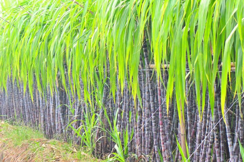 Plantas negras de la caña de azúcar foto de archivo libre de regalías