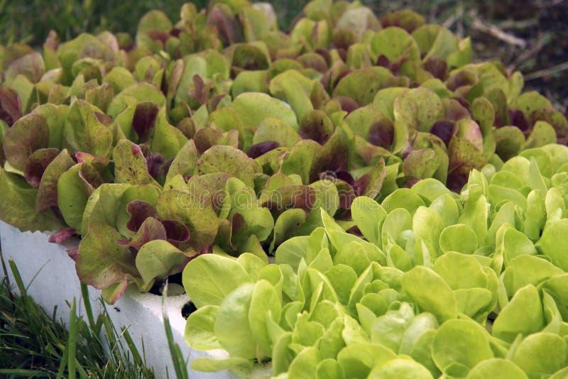 Plantas novas da salada para plantar imagens de stock